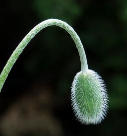 A single poppy bud.