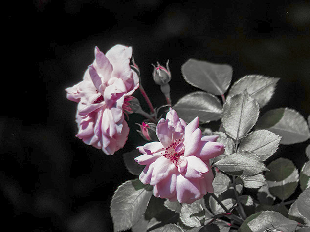 Roses 4 - adjust hue, saturation and luminance colours.