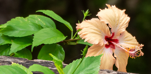 Hibiscus on a fence